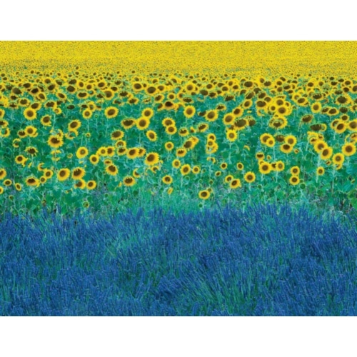 Sunflowers in Provence-France - Clapp, David 포스터