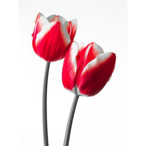 Frank, Assaf의 Fresh and beautiful Tulips on white background, FTBR-1819